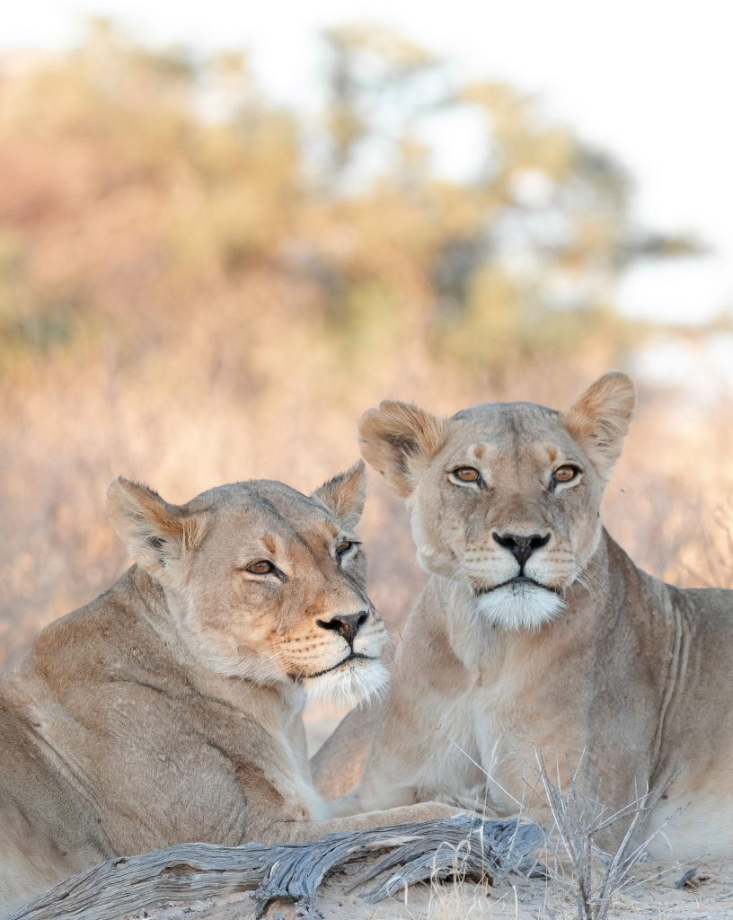 Lions at Polentswa